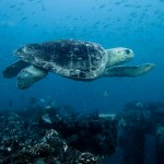 Wilmington NC Sea Turtle SCUBA Diver Photography